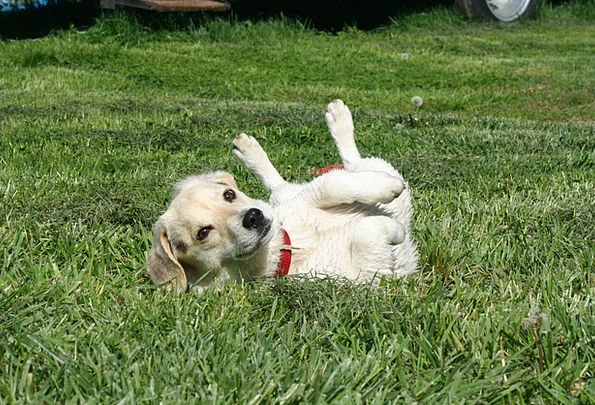Puppy Brat Dog Canine Jack Russel Rolling Russell