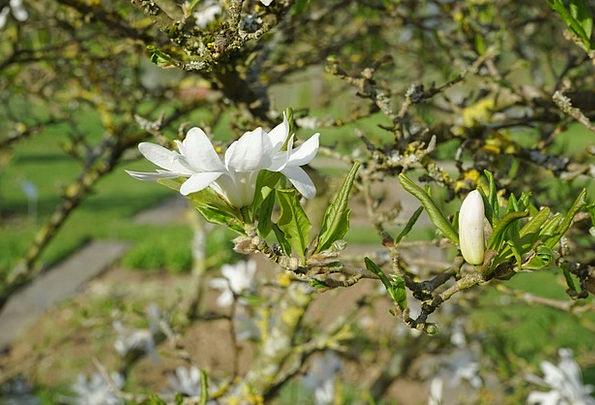 Flower Floret Shut White Snowy Closed Star Magnoli