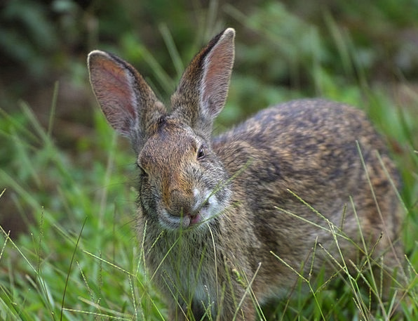 Hare Auricles Mammal Creature Ears Meadow Field Gr