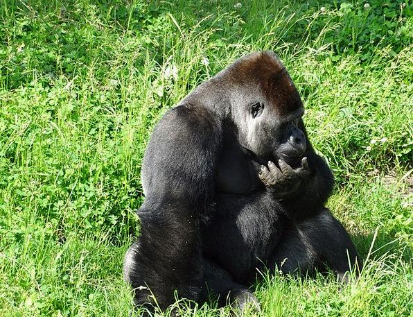Monkey Brute Animal Physical Gorilla Ape Chimpanze