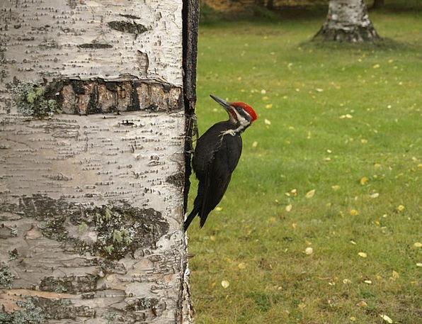 Woodpecker Fowl Picking Option Bird Tree Sapling B