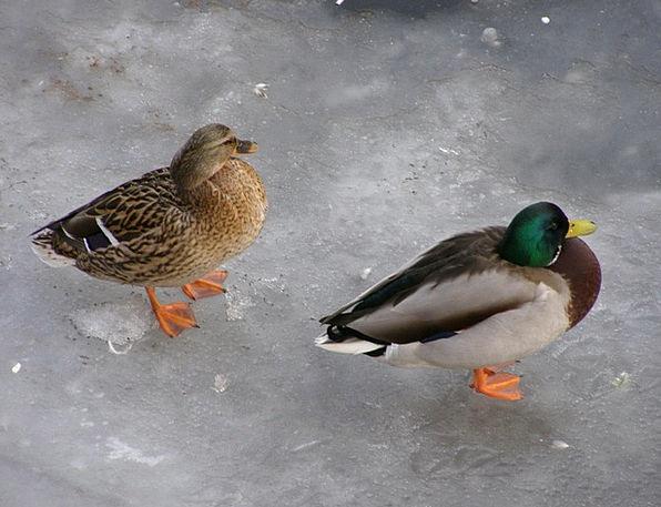 Duck Stoop Ice Frost Drake Beak Bird Fowl Male Wat