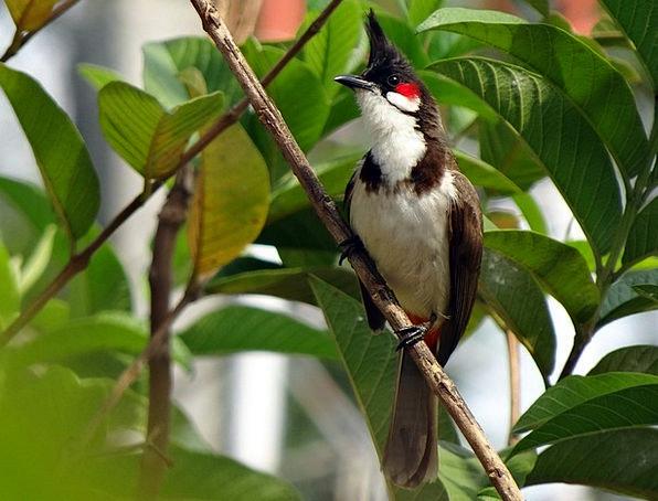 Red-Whiskered Bulbul Bulbul Pycnonotus Jocosus Bir