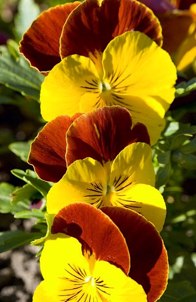 Flowers Plants Coil Pansy Spring Botanic Meadow Fi