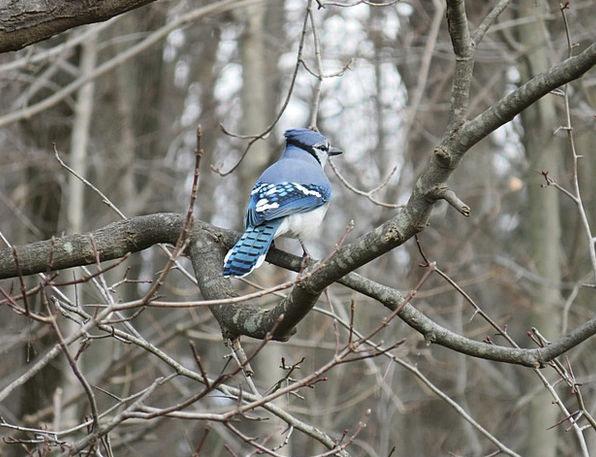 Blue Jay Branch Division Jay Trees Plants Bird Blu