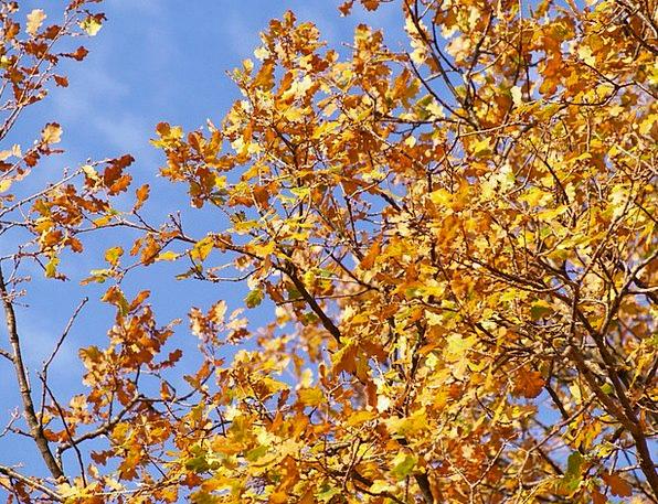 Autumn Fall Landscapes Greeneries Nature Oak Leave