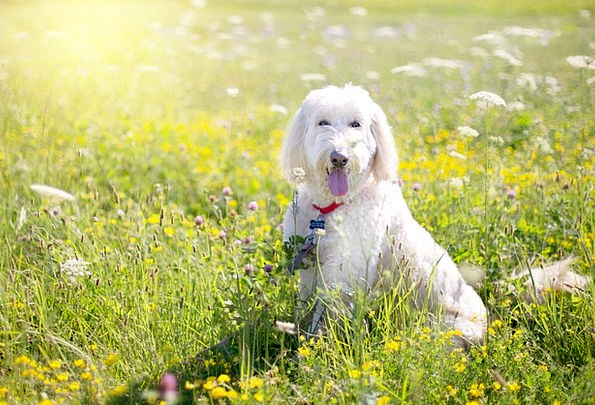 Dog Canine Pet Domesticated Poodle Grass White Sno