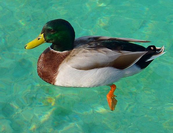 Drake Stoop Mallard Duck Bird Fowl Water Swim Aqua