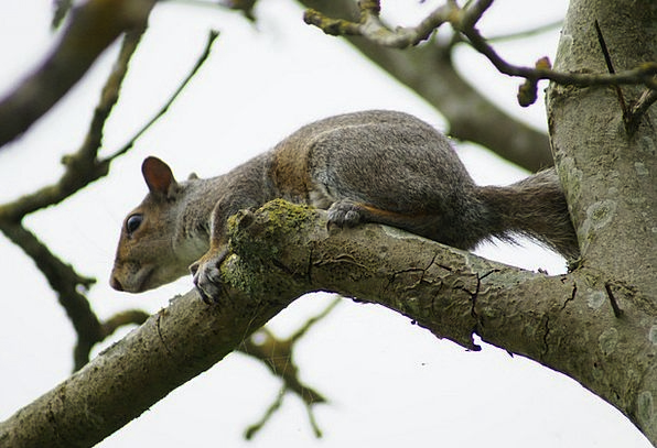 Squirrel Collector Old Rodent Grey Wildlife Nature
