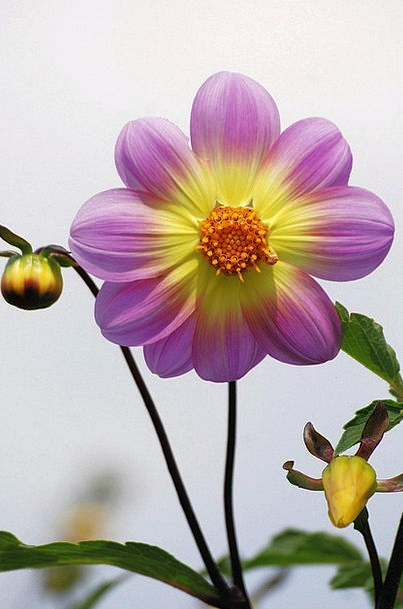 Dahlia Floret Garden Plot Flower Colorful Interest
