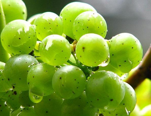 Grapes Creeper Wine Mauve Vine Raindrop Green Lime