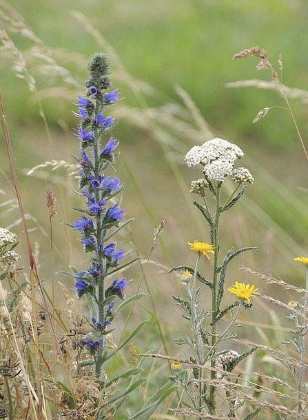 Yarrow Landscapes Floret Nature Blue Azure Flower