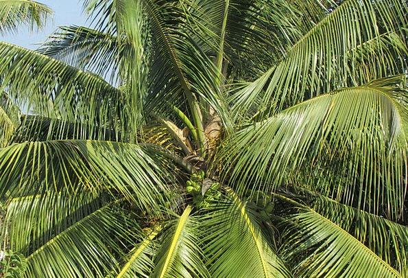 Coconut Tree Landscapes Tribute Nature Palm Tree P