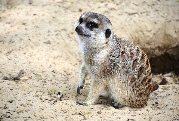 Meerkat Meercat Suricata Suricatta Scharrtier Spec