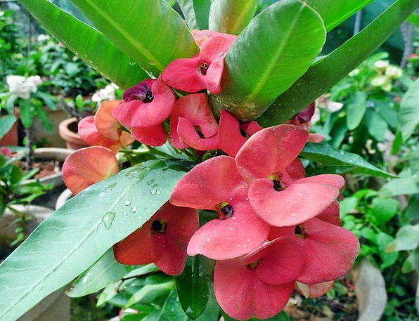 Red Bloodshot Landscapes Nature Milii Euphorbia Gr
