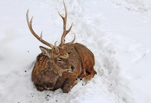 Stag Physical Deer Animal Japan Ezo Deer Zoo Winte