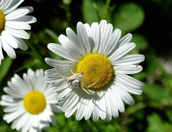 Daisy Crab Spider Spider White Snowy Summer Flower