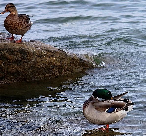Ducks Dears Couple Twosome Pair Of Ducks Stone Peb