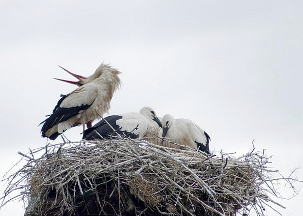Stork Birds Natures White Stork Nest Shell Nature