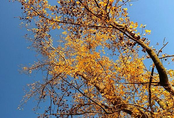 Tree Sapling Black Poplar Poplar Poplar Leaf Leave