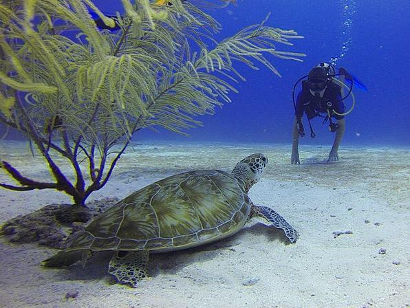 Diving Headfirst Mexico Turtle Scuba Diving Meetin