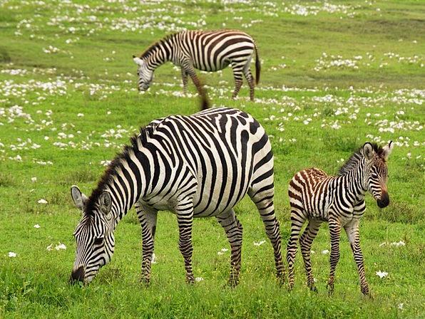 Baby Zebra Trek Serengeti Safari Striped Tanzania