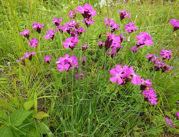 Steinnelken Landscapes Plants Nature Wildflowers W