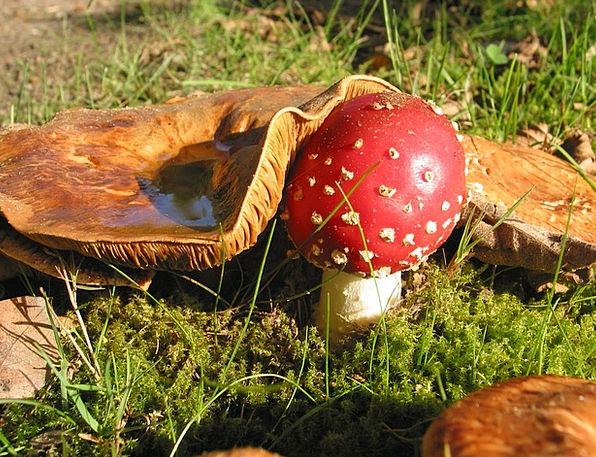 Fly Agaric Landscapes Burgeon Nature Nature Countr