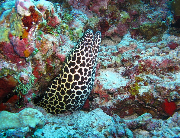 Moray Eel Sea Marine Maldives