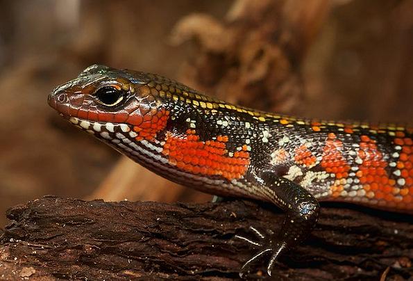 Splendor Skink Riopa Fernandi Skink Reptile Terrar
