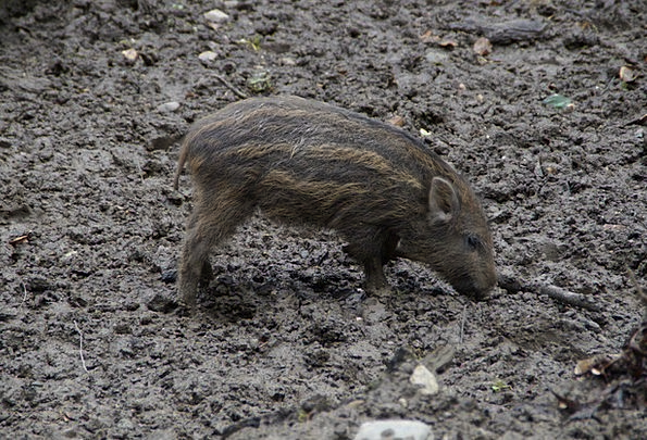 Launchy Pig Glutton Boar Deer Park Young New Mud C