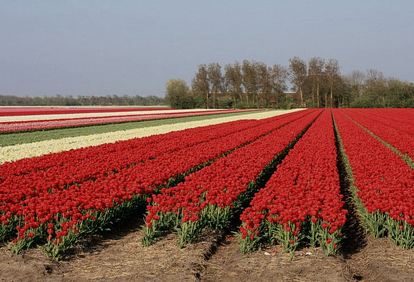 Tulips Landscapes Countryside Nature Colorful Inte