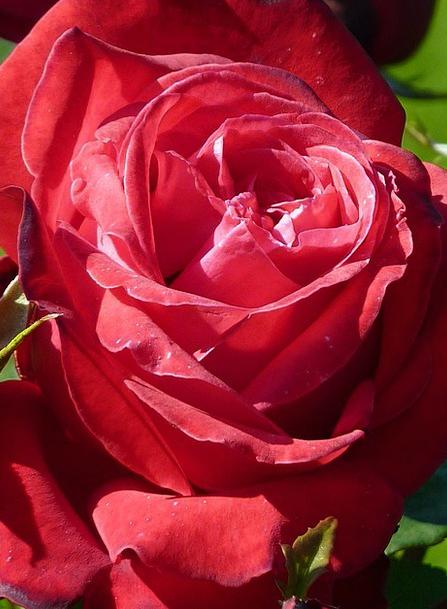 Rose Design Landscapes Bloodshot Nature Flower Flo