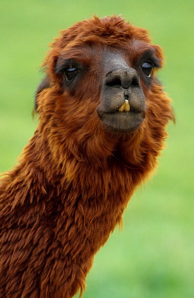 Alpaca Physical Bizarre Strange Animal Hair Brown