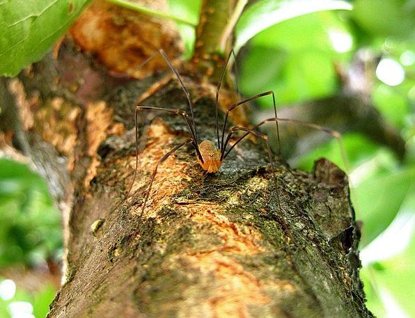 Spider Landscapes Limbs Nature Long Legs Legs Natu