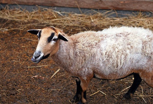 Animal Physical Farmhouse Zoo Menagerie Farm Goat