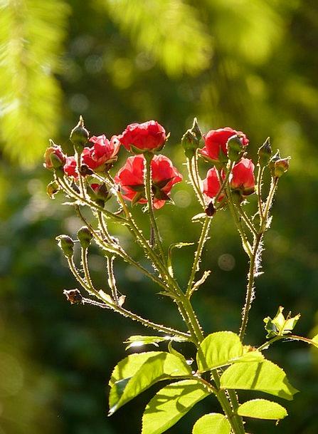 Rose Design Flower Floret Rose Flower Red Bloodsho