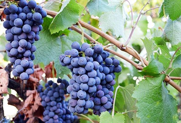 Grapes Drink Azure Food Fruit Ovary Blue Food Nour