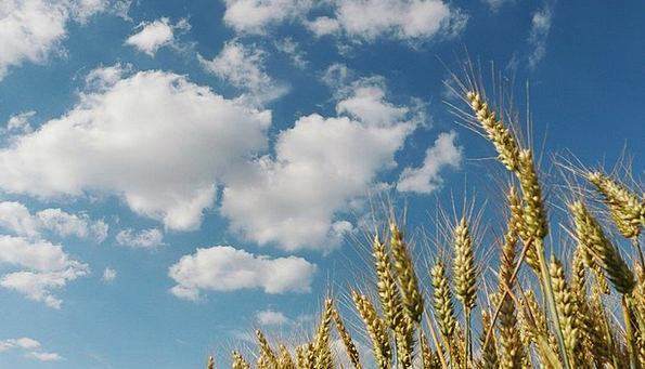 Cornfield Landscapes Nature Field Arena Wheat Fiel