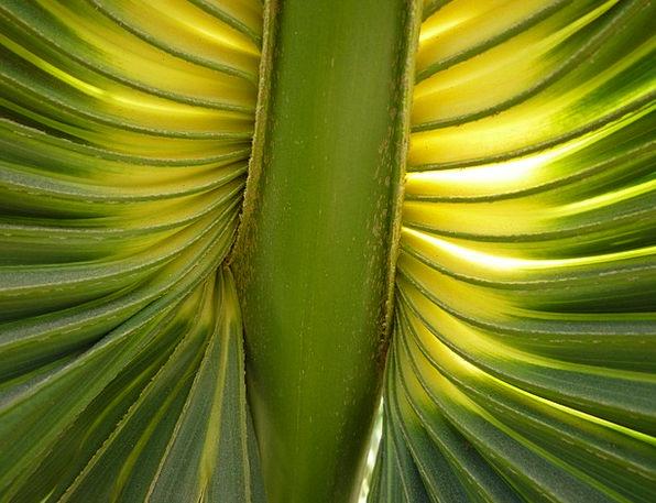 Fan Palm Landscapes Nature James Palm Fronds Fanne