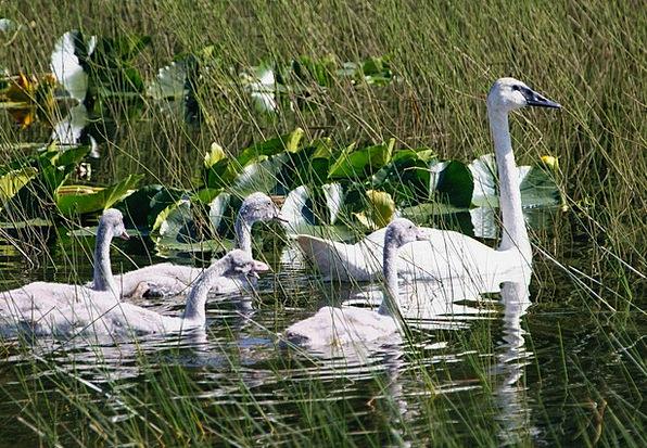 Trumpeter Swans Landscapes Wander Nature Brood Lit
