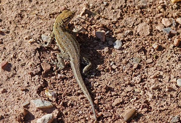 Desert Iguana Landscapes Nature Wild Life Lizard N