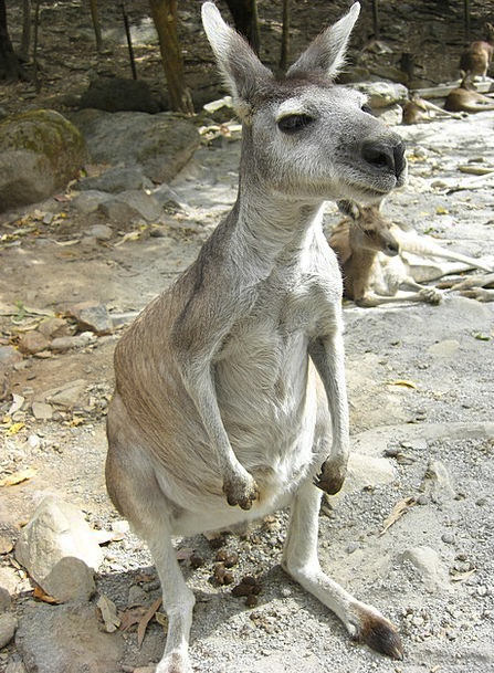 Kangaroo Jerk Menagerie Australia Zoo Animal Physi