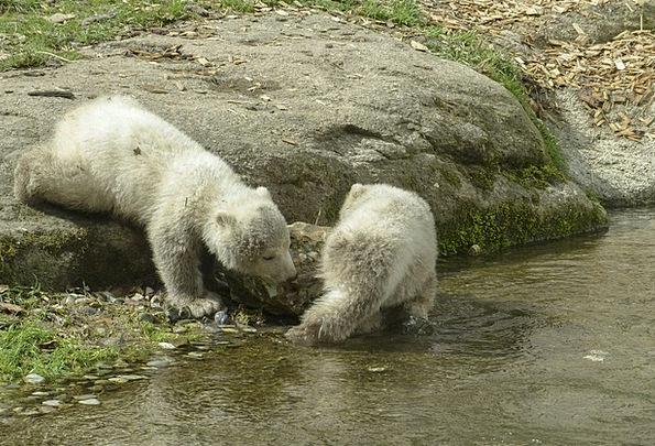 Polar Bear Novices Animal Physical Cubs Natural Ma