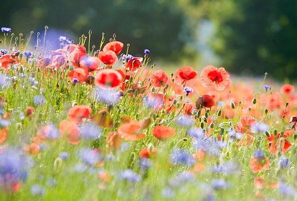 Field Of Poppies Landscapes Nature Poppies Poppy F