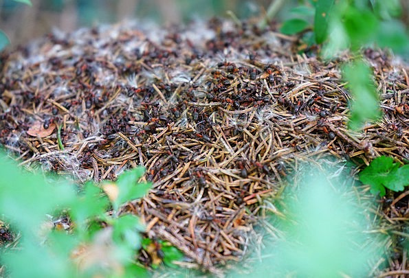 Forest Ant Hill Formica Polyctena Wood Ants Ants A