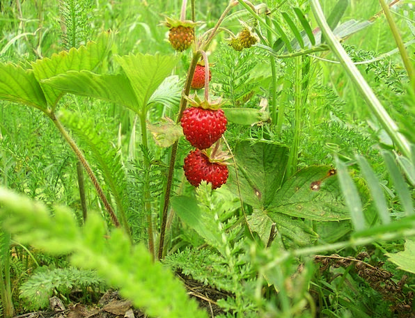 Wild Strawberry Tasty Delicious Berry Closeup Red