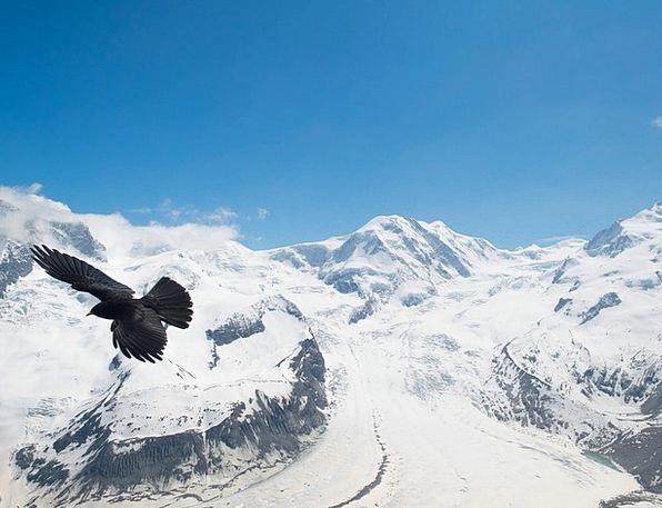 Chough Bergdohle Jackdaw Border Glacier Bird Fowl