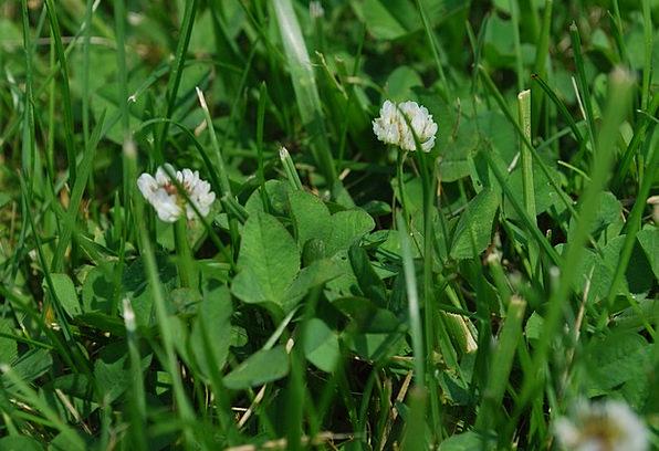 Grass Lawn Flower Floret Clover Garden Spring Coil