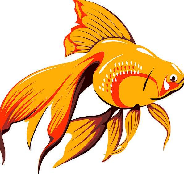 Goldfish Angle Tank Cistern Fish Aquatic Water Und